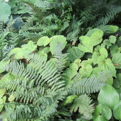 Ferns and hardy begonias.
