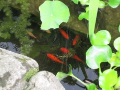 Goldfish in the pool of St. Catherine.