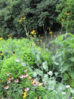 Rudbeckia maxima in the upper perennial bed.