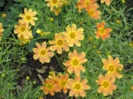 I like the rusty orange tint of these coreopsis.