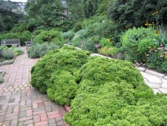 A very small-leafed boxwood.