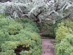 Another view of the cedar and boxwoods.