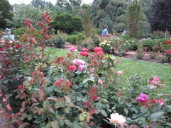 The rose beds.