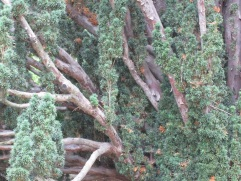 Closeup of the old yew.