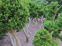 Ellipse boxwood.