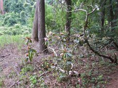 Ancient, broken rhododendron.