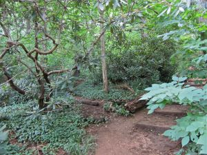 Old rhododendrons at the edge of the path.