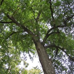 Looking up into the oak.