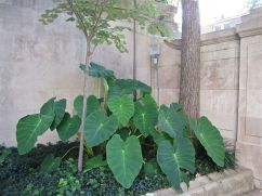 Elephant's ear and a small linden at the front of the house.