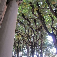 The umbrella-like canopy of the pollarded linden trees.