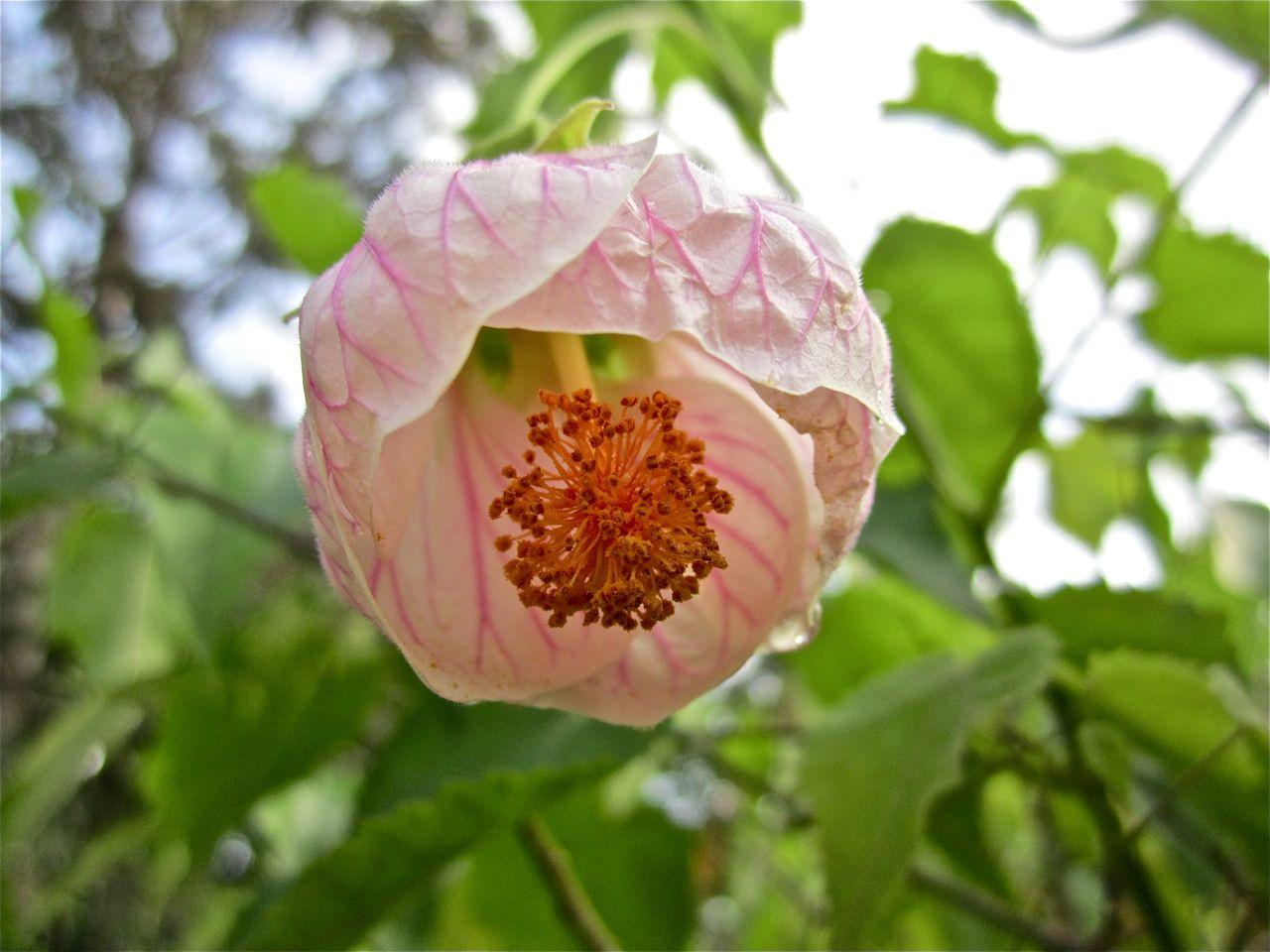 Flowering Maple Enclosure
