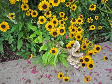 Black-eyed susans and faded cockscomb (Celosia).