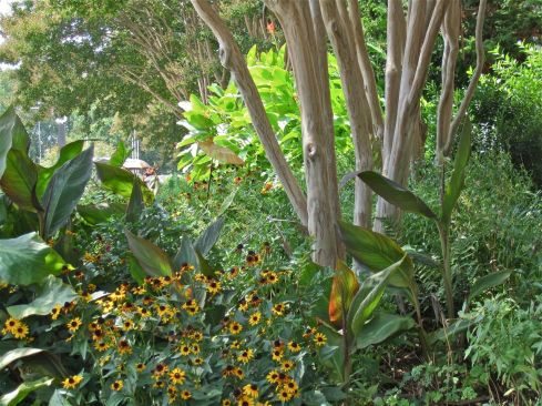 Crape myrtle (Lagerstromeia indica 'Natchez'), black-eyed susans (Rubeckia hirta), and Canna indica.
