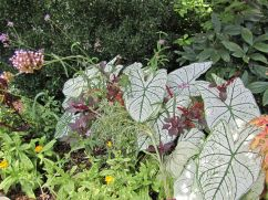 Caladiums and small burgundy amaranthus.