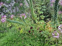Cleome hassieriana and burgundy bachelor's buttons (Centuarea cyanus).