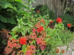 A closeup of red zinnias and coleus beside the cannas.