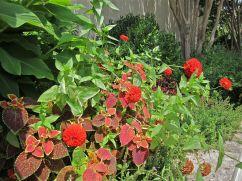 A closeup of red zinnias and coleus beside the cannas.