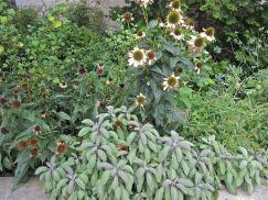 Fading coneflowers (Echinacea purpurea) and sage (Salvia officinalis).