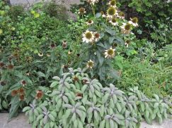 Fading coneflowers (Echinacea purpurea) and sage (Salvia officinalis).
