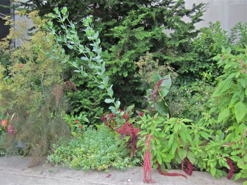 Love-lies-bleeding (Amaranthus) and dill (Anethum graveolens).