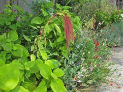 Amaranthus or love-lies-bleeding and rose campion (Lychnis coronaria).