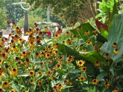 Black-eyed susans (Rudbeckia hirta) and Canna indica.