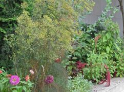 Dill (Anethum graveolens), zinnias, and love-lies-bleeding (Amaranthus).