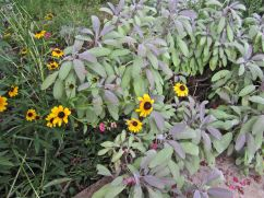 Sage and black-eyed susans.
