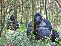 The silverback and a female.