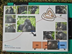 We saw the Agashya group of gorillas. Agashya, the silverback, moved in on a group of females whose silverback had died. He chased out a younger male and then poached more females from other groups.