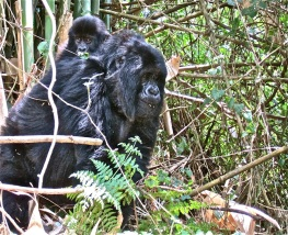 Mother and baby mountain gorillas.