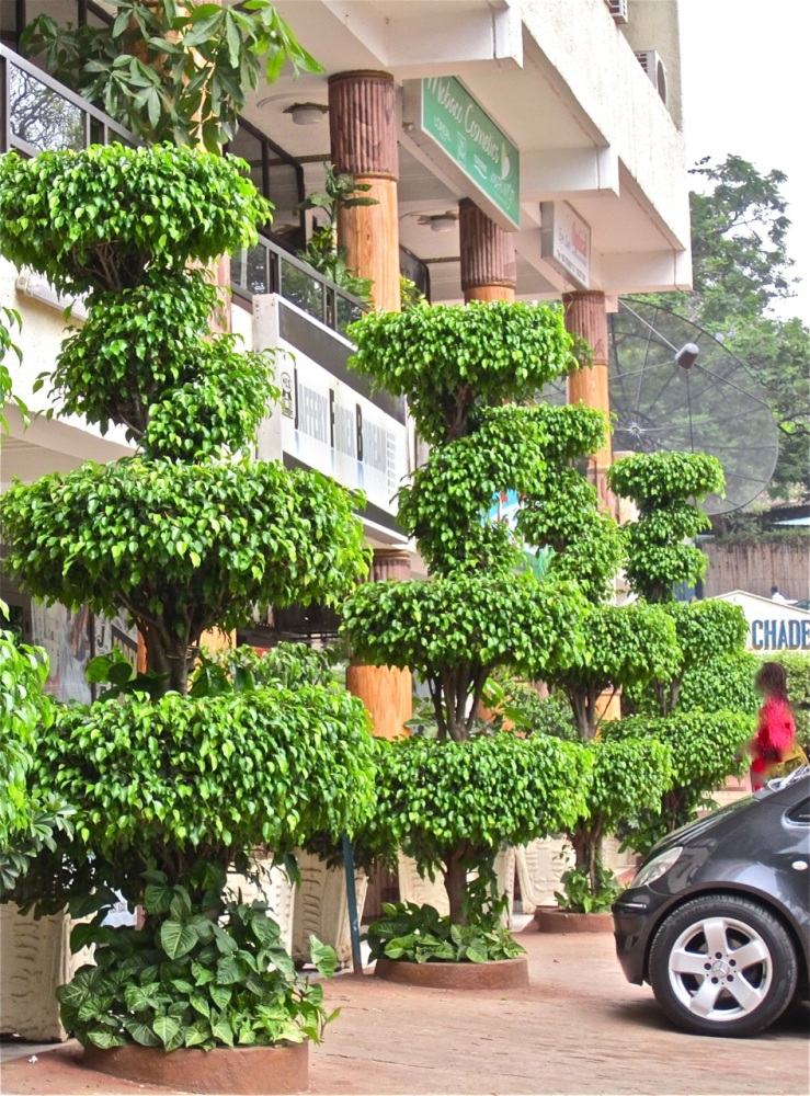 This Kigali pharmacy has taken the city regulation for flower pots to heart -- with clipped weeping figs in the ground and then more pots behind them.