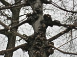 detail - pleached tree