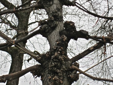 detail - pleached tree