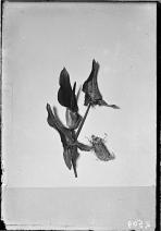 Palestine arum (Arum palaestinum Boiss), c. 1900-1920.