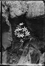 Bethlehem-star (Ornithogalum fimbriatum Wild), c. 1900-1920.
