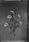 Poison hemlock (Conium maculatum L.), c. 1900-1920.