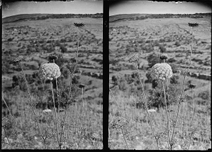 Great carrot (Daucus maximus Desf.), c. 1900-1920.