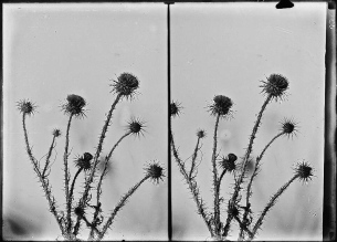 Onopordon (cotton-thistle) (O. heteraconthum), c. 1900-1920.