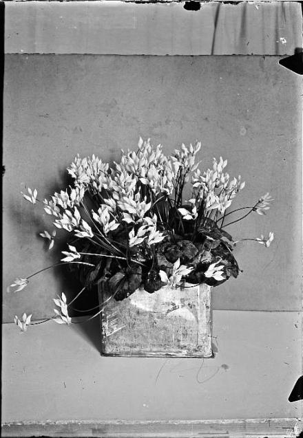 Flowers [cyclamen], c. 1898-1946.
