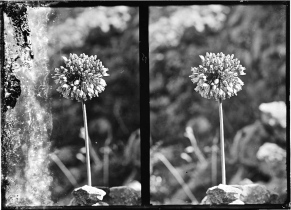 Flowers [wild pink onion -- Allium trichocoleim Bonm.), c. 1898-1946.