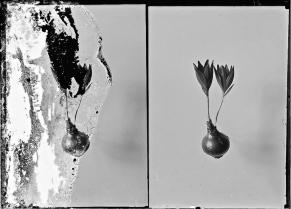 Flowers, c. 1898-1946.