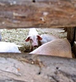 11 baby pig