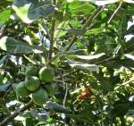20 Macadamias