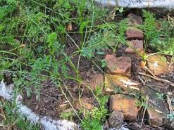 5b carrot in terraced garden