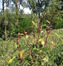 8 amaranth and cleome