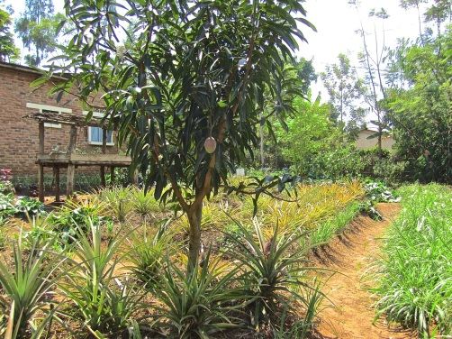 9a pineapples and mango tree