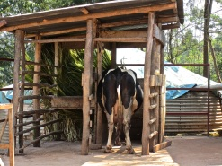 9aaa milking shed