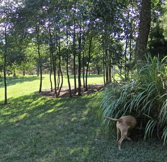 Sophie hunts in the Miscanthus; a grove of persimmon trees is in the background.