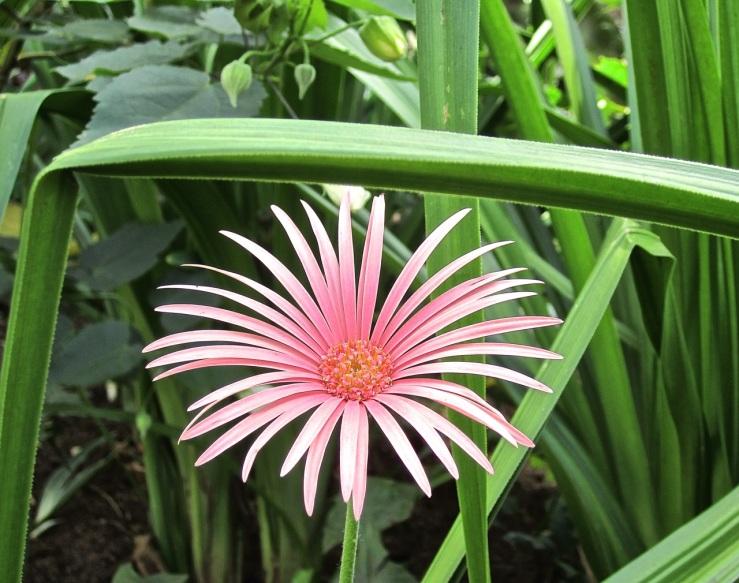 Dec 24 pink Gerbera